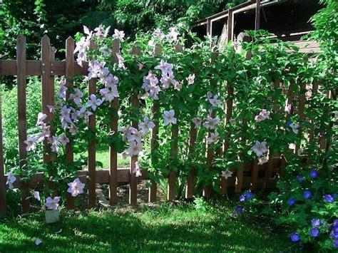 gartengestaltung böschung kletterpflanzen f 252 r zaun und rankgitter seite 2