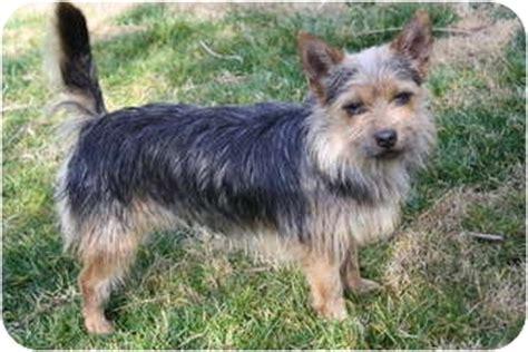 australian yorkie terrier baxter adopted in canada edmonton ab australian terrier yorkie