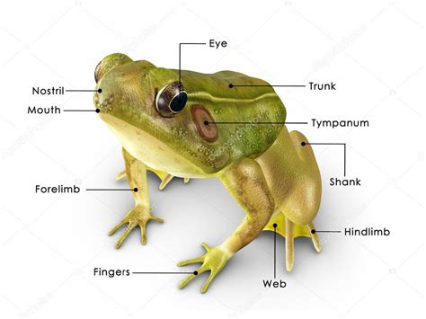 diagrams of frogs poison arrow frog diagram