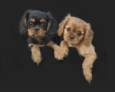 puppies for sale in dallas puppies for sale cavalier king charles spaniel dallas breeder