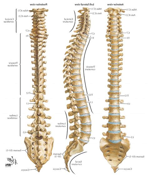 human spine diagram human spine anatomy diagram diagram diagram depicts
