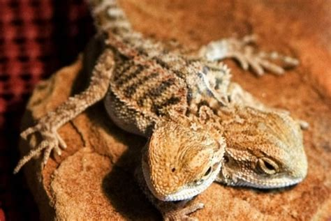 how often do bearded dragons go to the bathroom bearded dragon color chart