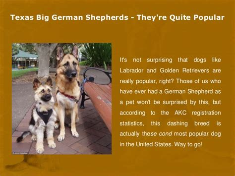 german shepherd puppy facts big german shepherds facts about