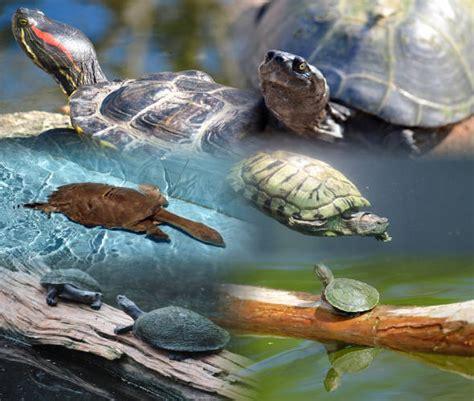 tartarughe marine alimentazione quali sono le specie di tartarughe acquatiche