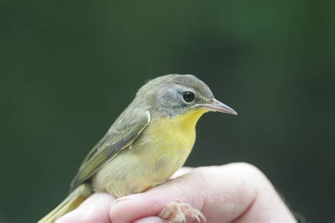 ohio bird photo collection hatch year common yellowthroat