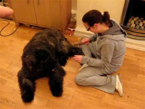are dogs ticklish a ticklish bouvier des flandres puppy 7 months being groomed by an