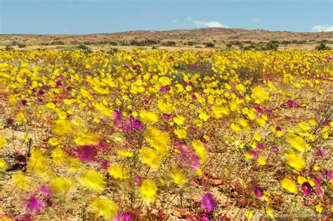 Blooming For by Atacama Desert Blooming Flowers Of Desierto Florido In Chile