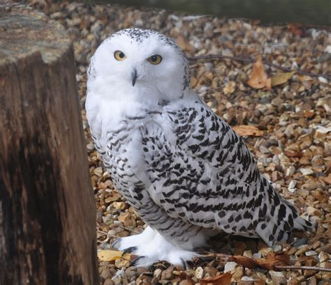 the snowy owl thinglink