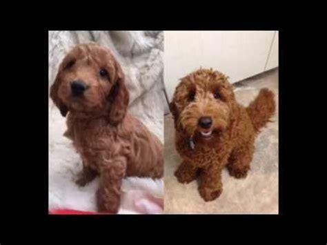 goldendoodle puppy growling cavapoo uk doovi