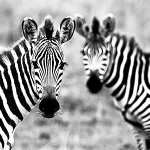 zebra  ipad wallpapers  hd wallpaperscom