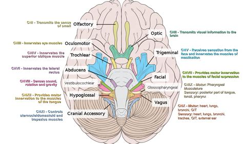 cranial nerves diagram click this image to show the size version terapi