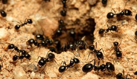 imagenes hormigas negras las hormigas negras se automedican seg 250 n estudios