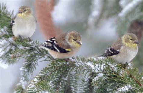 winter bird feeding advice sweeney feeders