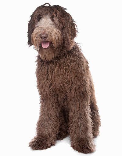 Labradoodle Shed by 35 Breeds That Don T Shed Small Medium Large Breeds