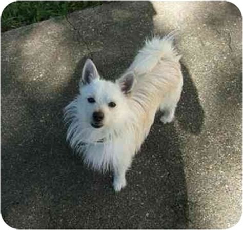 pomeranian rescue md peppy adopted bowie md westie west highland white terrier pomeranian mix
