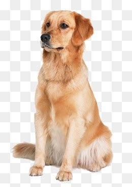 golden retriever png golden retriever png vectors psd and icons for free pngtree