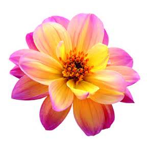 Connecticut State Flower - contact dreamy dahlia