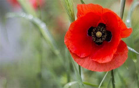 papavero fiore papavero propriet 224 e benefici idee green