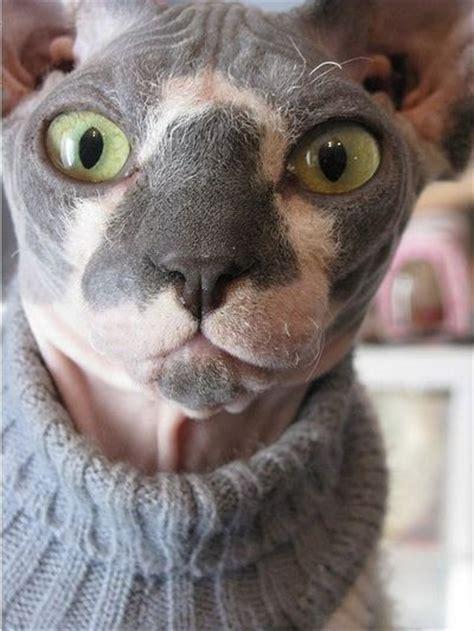 Hairless Cat Meme - sphynx cat breed memes