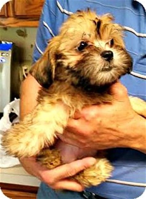 shih tzu rescue st louis maltese shih tzu mix puppy for adoption in st louis missouri darth