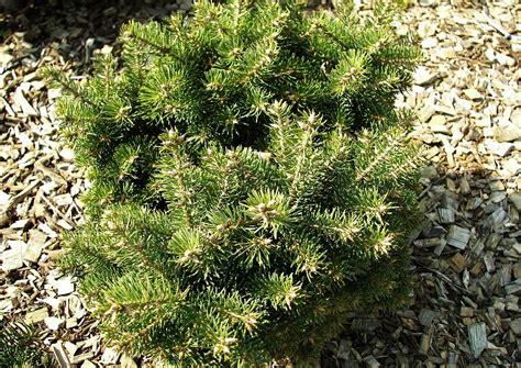 Pflanzen Kaufen by Pflanzen In Nanopics Koniferen Pflanzen Schneiden D 252 Ngen