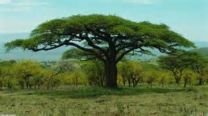 Tree Wallpaper For Walls Baobab Adansonia Wallpaper 24468 Open Walls