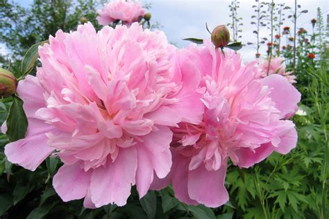 peony the best varieties for your garden books peony by the gardening