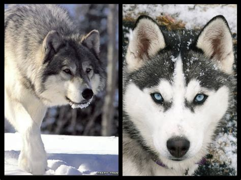 Do Wolves Shed facts about siberian huskies