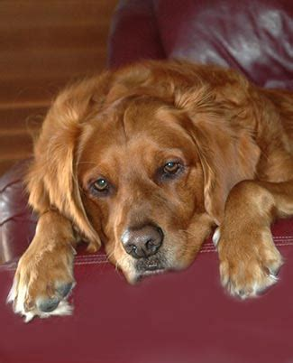 average age golden retrievers live chill out to live longer canine study