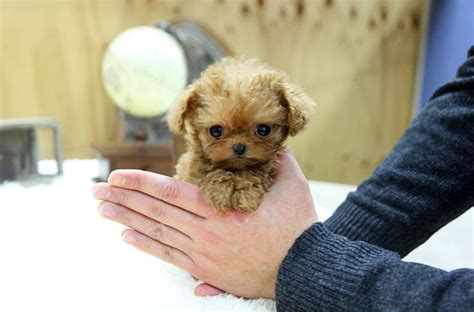 teacup poodle lifespan 10 best images about puppies poodles dogs oh my