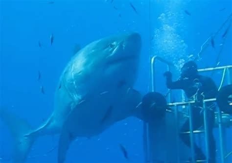 what is the largest great white shark ever recorded primer largest great white shark ever seen video