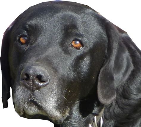 imagenes labrador negro perros labrador negro imagui