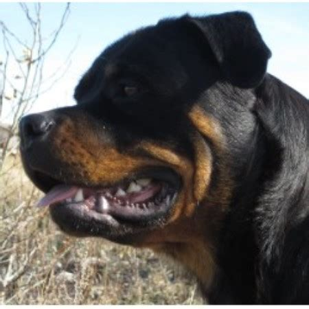 rottweiler stud service near me hat creek registered rottweilers rottweiler breeder in strathmore alberta