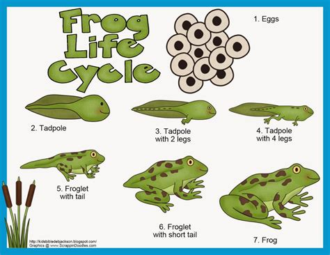 Frog Cycle by Bible For God Makes The Frogs For Preschool