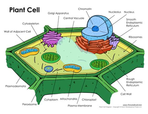 plant cell diagram labeled printable plant cell diagram labeled unlabeled and blank