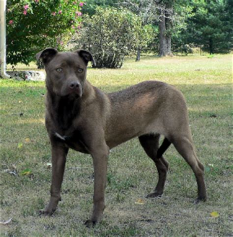 doberman pitbull puppies a doberman pit bull mix page 2 doberman chat forum