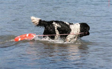 water rescue dogs newfoundland dogs prove lifesaving skills in water rescue tests american kennel club