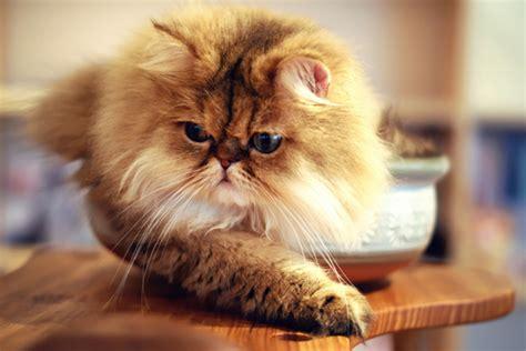 kucing parsi magazine