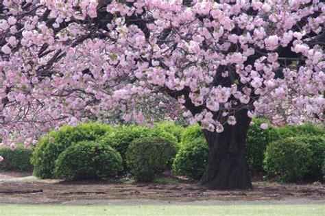 fiore di ciliegio in giapponese fioritura dei ciliegi in giappone naturalis