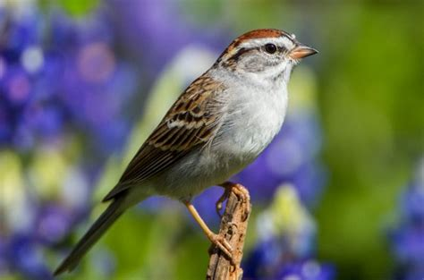 identifying chipping sparrows birds and blooms