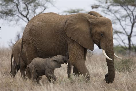 Big Picture Post Nation 5 by Gift Giving Social Status Drive Global Ivory Demand New