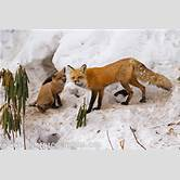 vulpes-vulpes