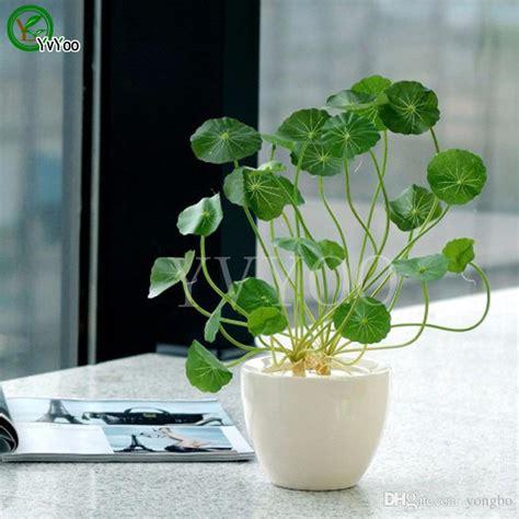 pilea seeds bag copper grass cold water indoor