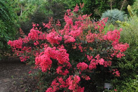 pic of the day lagerstroemia indica red filli jc raulston arboretum