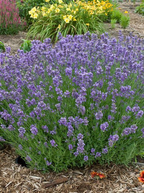 is lavender a perennial 16 perennial companion plants for roses hgtv