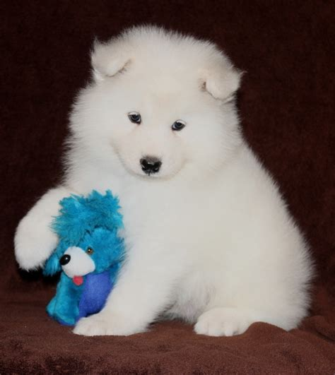 how much are samoyed puppies white samoyed puppies for sale for sale in northton white samoyed