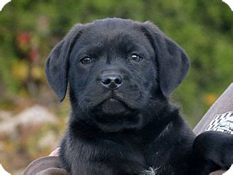 black lab and pug mix pet not found
