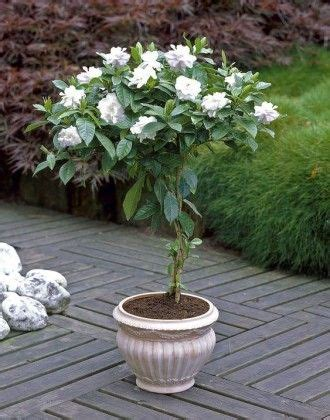 growing gardenia  pot patio trees plants flowering trees