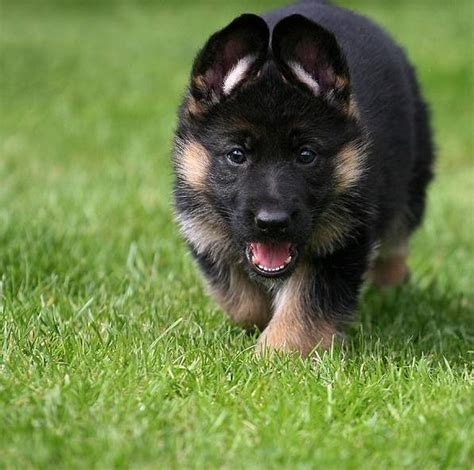 rottweiler sale sri lanka german shepherd dogs sri lanka about animals