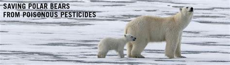 Polar Extinction Essay by Saving Polar Bears From Poisonous Pesticides